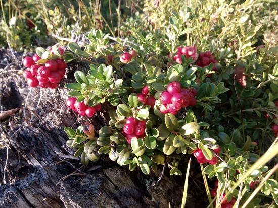 ягоды2.jpg